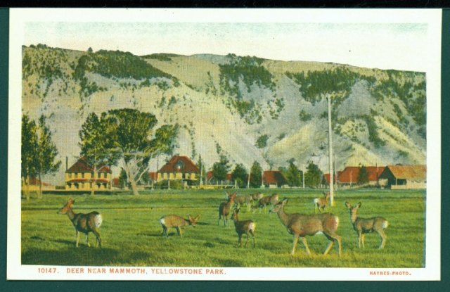 Postcard of deer near Mammoth, Arthur Edward Demaray papers, Collection #4031, Box 41. University of Wyoming American Heritage Center.